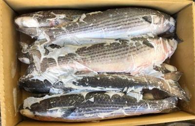 Cá đối nguyên con