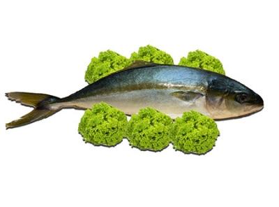 Cá Cam Hàn Quốc