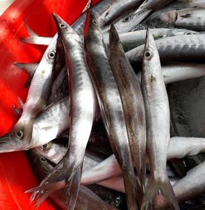 Cá Nhồng Nhật Bản